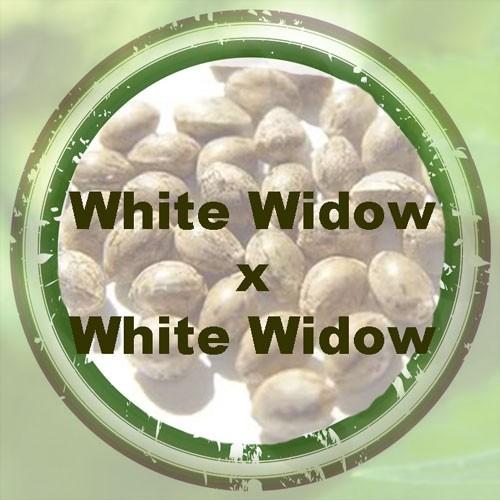 White Widow x White Widow