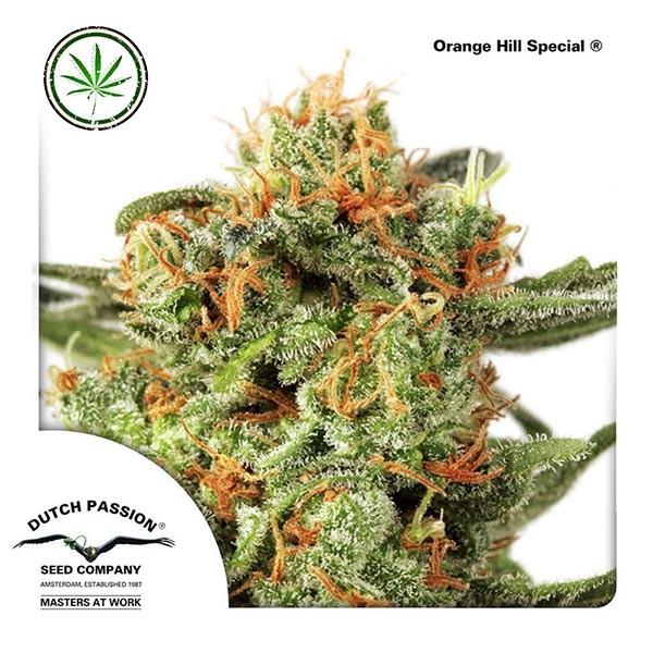Orange Hill Special fem
