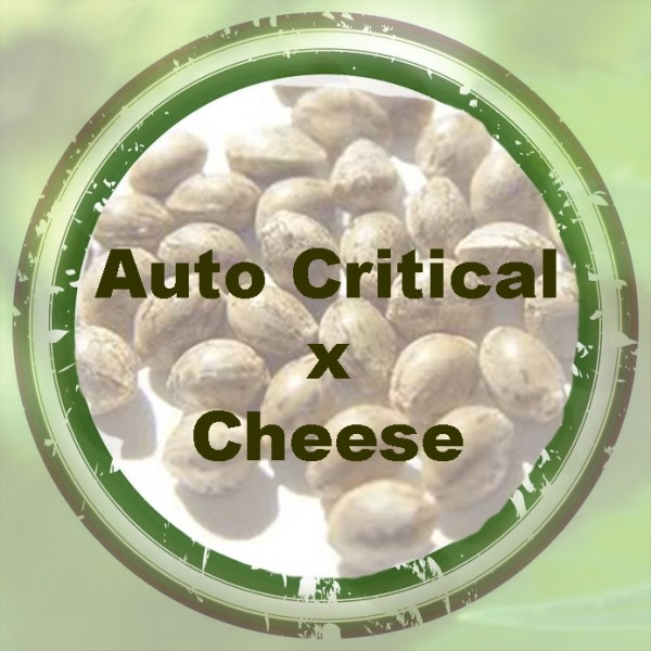 Auto Critical x Auto Cheese